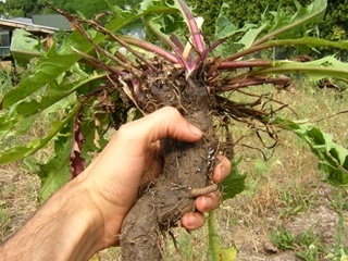 giant dandelion root